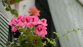 Typical Andalusian balcony, close up. Flower in a andalusian balcony stock video footage