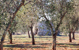 Typical Apulian shed in olive orchard, Italy Royalty Free Stock Photo