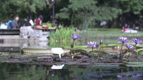 Typical asian garden with lake and flowers. People chilling in the background stock video