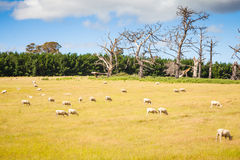 Agriculture paddock with sheep scattered Stock Photography