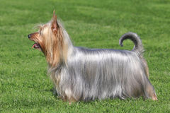 Typical Australian Silky Terrier in the garden royalty free stock images