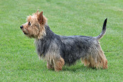 Typical  Australian Terrier in the garden. Typical  Australian Terrier in the spring garden Stock Photo