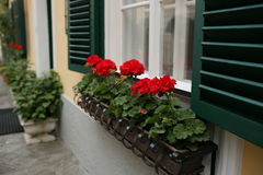 A typical austrian window with green louvered shuters and square paned windows with flowers in hanging flower pots Stock Images