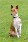 Typical Basenji dog Stock Photography