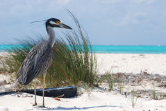 A bird on a beach in a Cuban island. A typical bird on a beach in Cuba Cayo Arenas Royalty Free Stock Photos