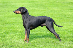 The typical black Manchester Terrier Stock Photography