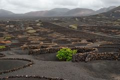 Vineyard fields in Lanzarote in wintertime. Typical black vineyards, stone walls, lava fields, wintertime, Lanzarote, the Canary Islands royalty free stock images