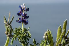 Typical Bolivian flowers the Titicaca lake, the largest highaltitude lake in the world 3808 mt stock photography