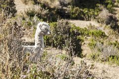 Typical Bolivian llama on the Titicaca lake, the largest highaltitude lake in the world 3808 mt stock photos