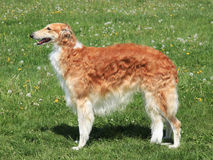 Typical Borzoi – Russian hunting Sighthound on a green grass l Royalty Free Stock Photos