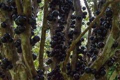 Typical brazilian fruit color black Stock Photo
