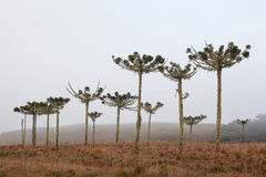 Typical brazilian pine trees (Araucaria) and fog at Cambara do Sul Royalty Free Stock Images