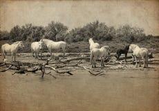 Typical camargue white horses Stock Image