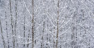 Snow Covered Cottonwood Stems- Canadian Winter Landscapes royalty free stock image