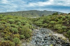 Typical canyon surrounding by canarian endemic milkweed Euphorbia balsamifera in Adeje, the South of Tenerife, Mountains on the. Background royalty free stock photography