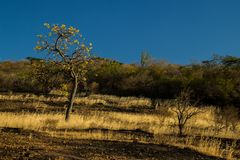 A typical Cerrado landscape, where twisted trees are one of the few survivors during periods of drought. stock photos