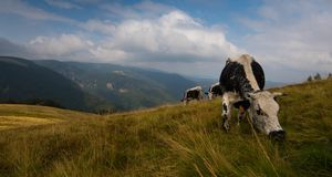 Cow in the heights of the Vosges mountains stock photography