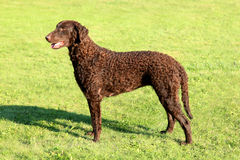 Typical Curly Coated Retriever on a green grass Royalty Free Stock Photography