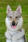 Typical Czechoslovakian Wolfdog Royalty Free Stock Photography