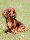 Typical Dachshund Long-haired dog Stock Images