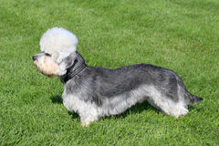 Typical  Dandie Dinmont Terrier  in the  garden Stock Image