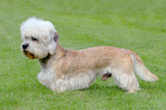 Typical Dandie Dinmont Terrier on a green grass lawn Stock Photos
