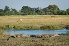 A typical day at the water in the Okavango Delta. A horizontal, colour image of life in the Okavango delta, Botswana, with two crocodiles, Crocodylus niloticus stock photo