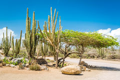 Typical dry climate cacti and shrubs in Aruba. The rural areas of the island, called kunuku, are home to various forms of cacti, thorny shrubs, and local trees Stock Photos
