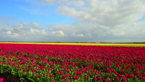 Typical Dutch colourful tulip field. Famous and well known colorful fields in the Netherlands stock video