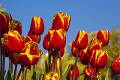 Typical Dutch colourful tulip field Royalty Free Stock Photos