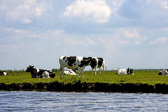 Typical Dutch cows Royalty Free Stock Photography