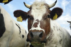 Typical Dutch cows Royalty Free Stock Image