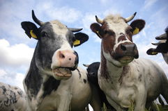 Typical Dutch cows. In a typical Dutch landscape Royalty Free Stock Images