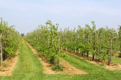 Typical Dutch landscape with fruit trees,Betuwe,NL Royalty Free Stock Photo