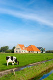 Typical dutch landscape. With cows farmland and a farm house royalty free stock images