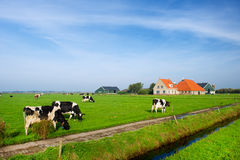Typical dutch landscape. With cows farmland and a farm house Royalty Free Stock Photography