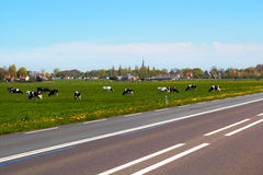 Typical dutch landscape with cows farmland and a farm house Stock Images