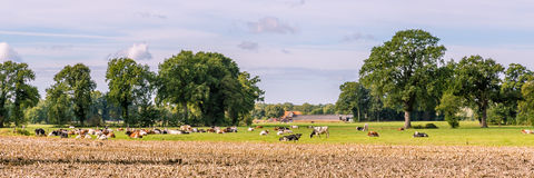 Typical Dutch landscape. With a farm and cows in a meadow stock image