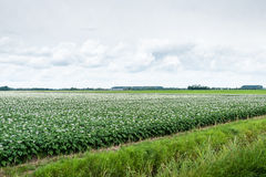Typical Dutch landscape with flowering potato plan Stock Photo