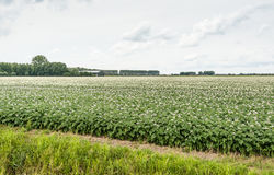 Typical Dutch landscape with flowering potato plants Royalty Free Stock Photos