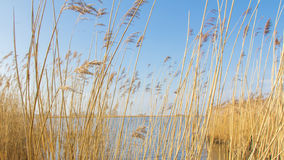 Typical Dutch landscape with reed along the water Royalty Free Stock Photo