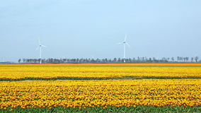 Typical Dutch landscape with tulips and wind-mills Stock Image