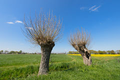 Typical Dutch landscape with willows Stock Photography
