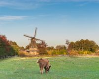 Typical dutch landscape with a windmill and a grazing highland cow stock image