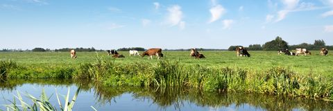 Typical Dutch panorama landscape with cows, grassland, trees, blue sky and white clouds. Typical Dutch panorama landscape with cows, cattle grassland, trees royalty free stock photos