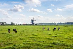 Typical Dutch polder landscape with a grazing cows in the meadow. An old windmill is in the background. The photo was taken at the end of the summer season in royalty free stock images