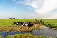 Typical Dutch polder landscape with ruminating cows in the grass. Typical Dutch polder landscape with ruminating black and white spotted cows in the grassland royalty free stock photo