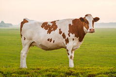 Typical Dutch red and white milk cow Stock Photography