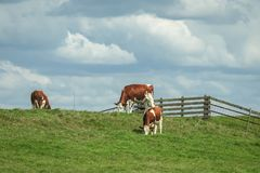 Typical dutch scene with cows grazing on a with a wooden fence. royalty free stock photos