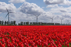 A typical Dutch sky over red tulips and wind turbines royalty free stock image